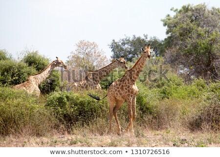 közelkép · három · zsiráfok · park · Botswana · égbolt - stock fotó © simoneeman