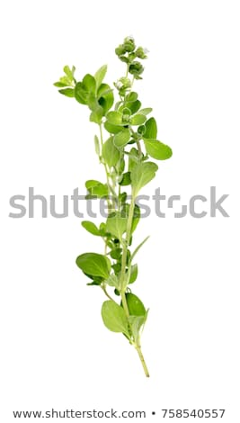Fresco orégano enferrujado garfo comida verde Foto stock © Digifoodstock