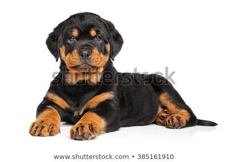 Puppy rottweiler studio witte hond zwarte Stockfoto © cynoclub