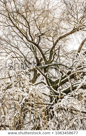 Abstact treetop with frosted branches Stock photo © manfredxy