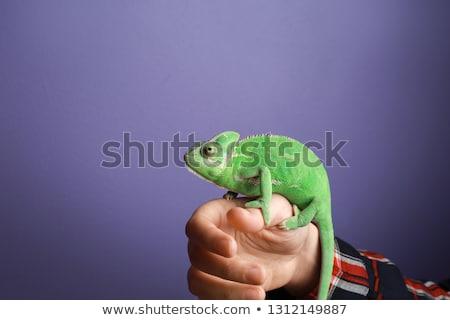 verde · camaleão · marrom · mãos · escuro - foto stock © svetography