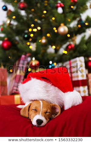 old jack russel terrier and christmas Stock photo © cynoclub