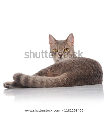 back view of cute grey metis cat lying Stock photo © feedough