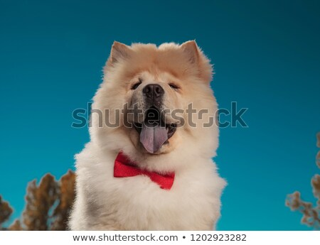 portrait of an adorable chow chow puppy dog wearing bowtie Stock photo © feedough