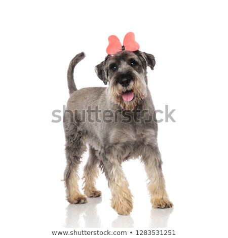 cute schnauzer with pink ribbon headband steps and pants Stock photo © feedough