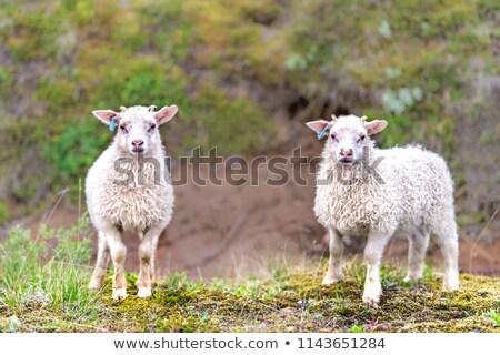 два молодые овец пастбище Исландия черный Сток-фото © Kotenko