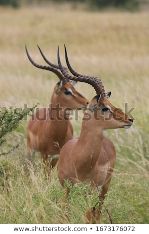 Impala, South Africa Stock photo © emiddelkoop