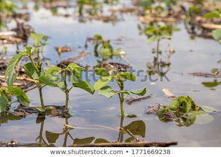 Agriculture, damaged soybean plant in field Stock photo © simazoran