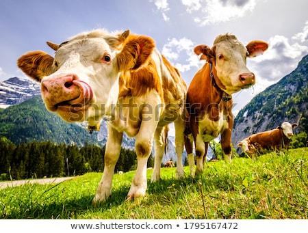 корова · альпийский · пастбище · красивой · лет · пейзаж - Сток-фото © andreypopov