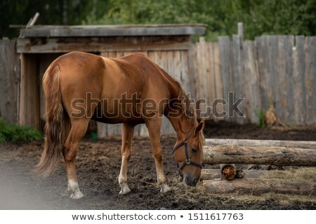 Stock photo: Young Brown Purebred Domestic Horse Standing By Trough And Eating Fresh Hay
