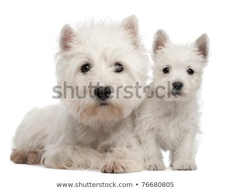 Zdjęcia stock: Studio Shot Of Two Cute West Highland White Terrier