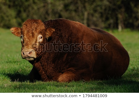 Limousine cows in France Stock photo © ivonnewierink