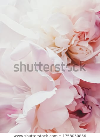 Pink peony flower as abstract floral background for holiday branding Stock photo © Anneleven