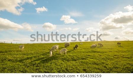 Domestico capre campo cielo erba natura Foto d'archivio © inaquim