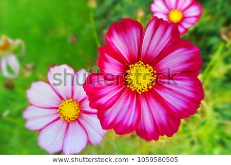 Wild rose and fun sun by autumn. Stock photo © lypnyk2