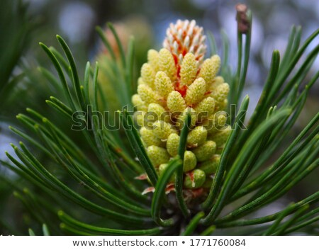 Kiefer Blume grünen Stock foto © suerob