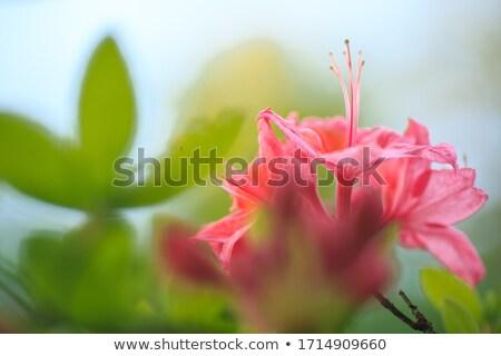 Roze azalea bomen bloesem voorjaar Stockfoto © Julietphotography