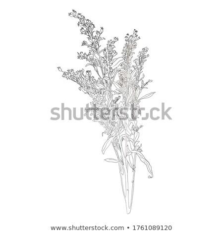 Small white flowers on curvy stem Stock photo © AlessandroZocc