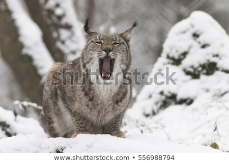 Eurasian Lynx gaping Stock photo © prill