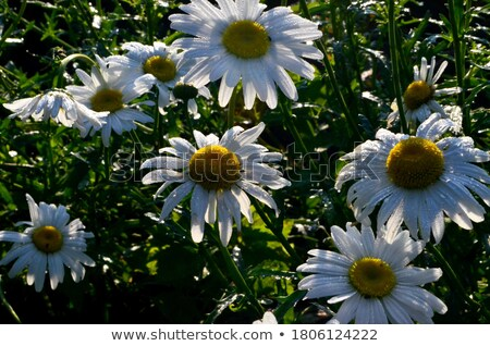 daisies in a field, macro Stock photo © ozaiachin