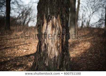 kirli · çam · ağacı · havlama · çatlaklar · arka · plan · doğal - stok fotoğraf © pixelsnap