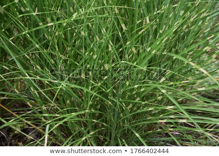 zebra and grass stock photo © mariephoto