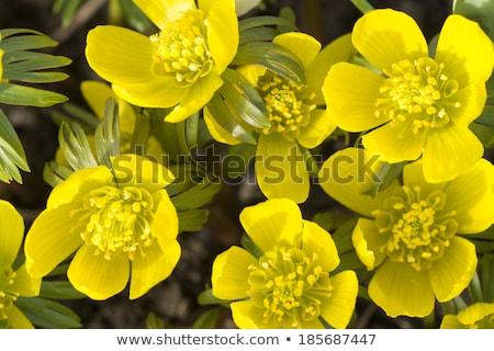 Inverno primeiro flores primavera família textura Foto stock © samsem