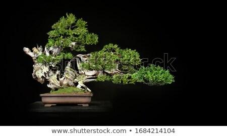 uomo · bonsai · albero · mani · natura · anziani - foto d'archivio © photography33