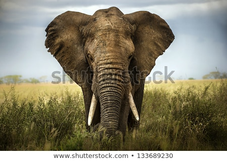 African elefanti savana all'alba natura viaggio Foto d'archivio © ajlber