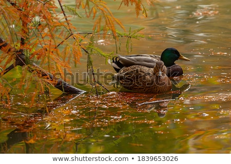 Pato masculino gelo borda rio beleza Foto stock © Gordo25