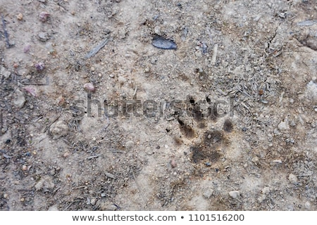 badger footprint in the mud Stock photo © taviphoto