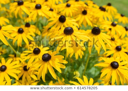 Zwarte Geel bloem geïsoleerd tuin Stockfoto © stocker