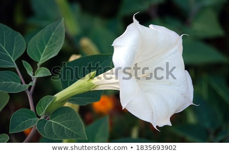 Datura flower Stock photo © bdspn