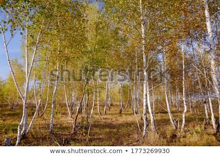 jesienią · brzozowy · lasu · piękna · drzewo · niebo - zdjęcia stock © meinzahn