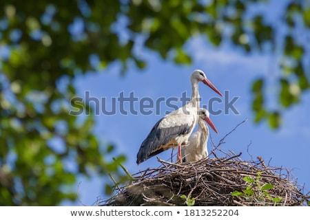 Cegonha ninho jovem branco natureza pássaro Foto stock © manfredxy
