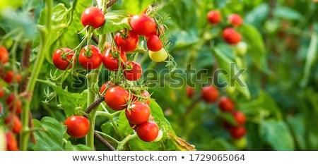 Groeiend tomaten tuin vruchten groep Stockfoto © olandsfokus