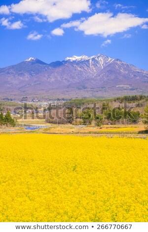 rape field and mountains stock photo © ldambies