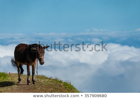 Closeup Donkey standing sideways on mountain above the clouds of cape verde island Stock photo © attiarndt
