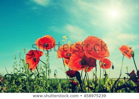 veld · klaprozen · zon · blauwe · hemel · bloem · zonsondergang - stockfoto © tetkoren