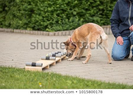 Police dog with distinctive Stock photo © fotoedu