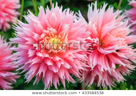 dahlia pink flowers in point defiance park in tacoma stock photo © iriana88w