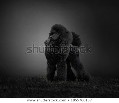 Stock photo: Puppy Poodle in a dark studio sitting