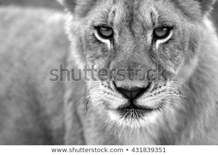 Stock fotó: Közelkép · oroszlán · mancs · feketefehér · park · Dél-Afrika
