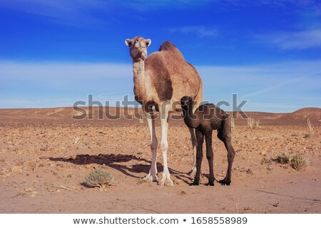 Camel Portrait Stock photo © zambezi