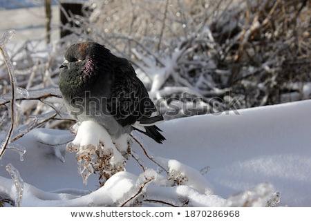 Séance branche hiver groupe domestique couvert Photo stock © artush