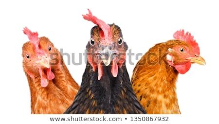 Stockfoto: Witte · haan · kip · naar · voedsel · gras