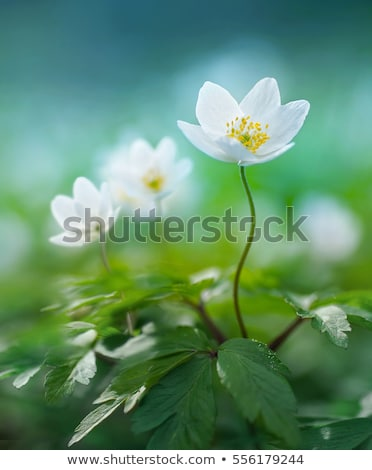 Stock photo: Spring beams beautiful white anemones
