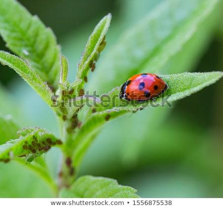 ladybug fly on a leaf Stock photo © Olena
