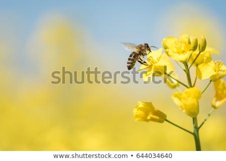 Bee on rapeseed  Stock photo © ldambies
