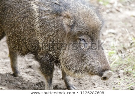 Chacoan peccary in captivity. Stock photo © yhelfman